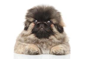 pekinees puppy foto