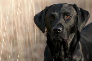 zwarte labrador foto
