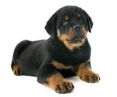 puppy rottweiler foto