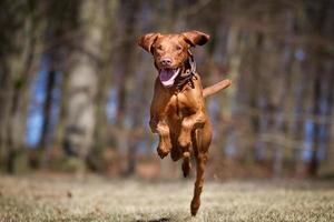 kooikerhondje hond buiten in de natuur foto