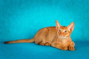 zuring abessijnse kat op donkergroene achtergrond foto