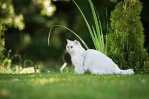 Britse korthaar kat buitenshuis foto