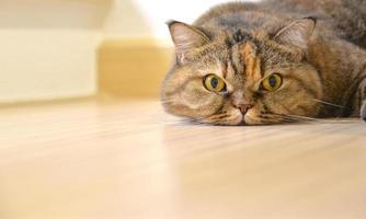 staren kat liggend op de vloer, close-up foto