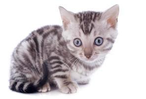 Bengaalse kitten foto