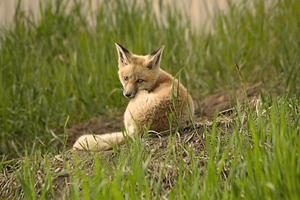 jonge vos kit foto