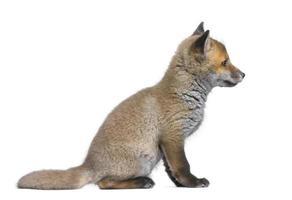 zijaanzicht van een red fox cub (6 weken oud) foto