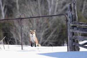 rode vos bij een poort foto