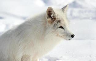 poolvos in sneeuw foto
