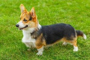 hond pembroke welsh corgi lachend foto