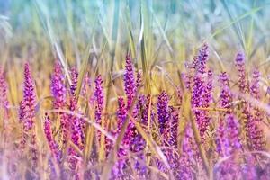 bloeiende paarse weidebloem foto