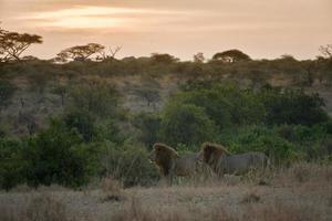 mannelijke leeuw model foto