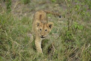 speelse leeuwen foto