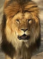 leeuwen foto