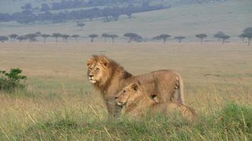 troep leeuwen foto