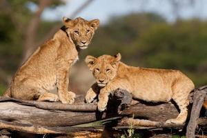 leeuwenwelpen foto
