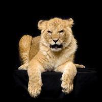 leeuwwelp liggend foto