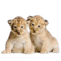 twee leeuwenwelpen foto