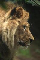 barbarijse leeuw (panthera leo leo). foto