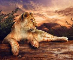 leeuw bij zonsondergang foto