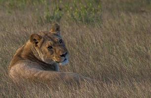 de leeuwin foto