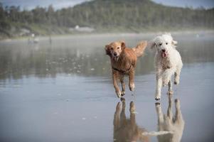 twee honden rennen op strand 3 foto