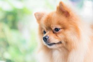 schattige bruine pomeranian hond foto