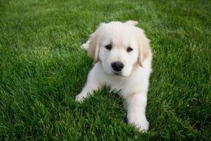 golden retriever pup in het gras foto