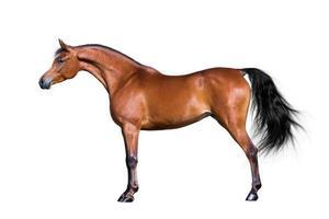 Arabisch paard dat op wit wordt geïsoleerd foto
