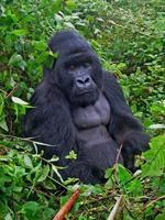 zilverrug gorilla foto