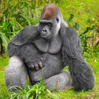 gorilla poseren foto