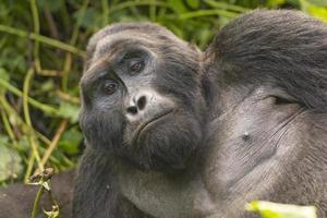 close-up van een zilverrug berggorilla foto