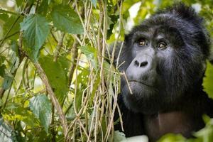 berggorilla verschuilt zich achter in de jungle foto