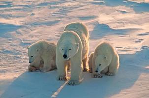ijsberen in het Canadese poolgebied foto