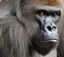 gorilla gezicht foto
