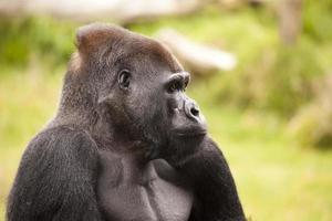 gorilla profiel foto