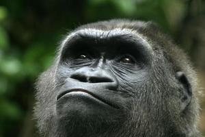 gorilla glimlach foto