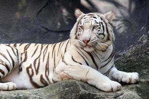witte Bengaalse tijger (panthera tigris) foto
