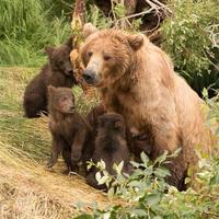 vier bruine beer welpen zitten met moeder foto