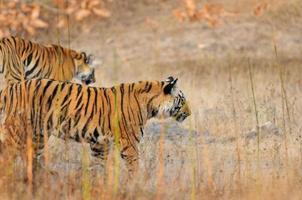 tijgers op jacht. foto