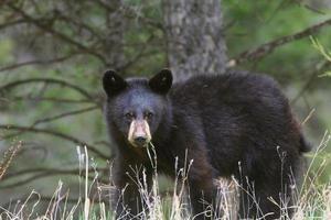 zwarte beer foto