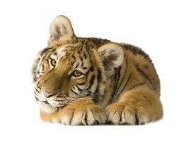 tijgerwelp (5 maanden) foto
