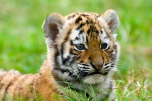 schattige Siberische tijgerwelp foto