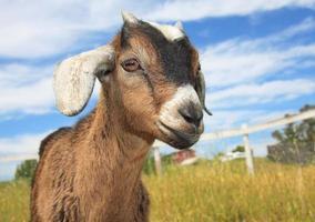 jonge vriendelijkere geit alleen in de boerderij foto