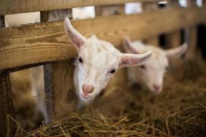baby geiten foto