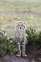 cheetah cub in stromende regen foto