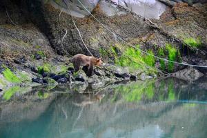 bruine grizzly beer foto