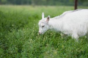 witte geit foto