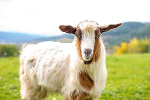 geit - selectieve focus over het hoofd van de geit foto