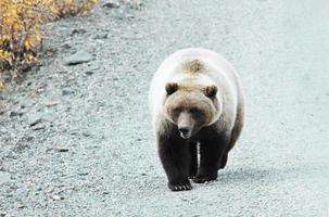 grizzly op de weg foto