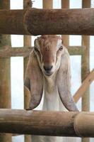 nubische geit foto